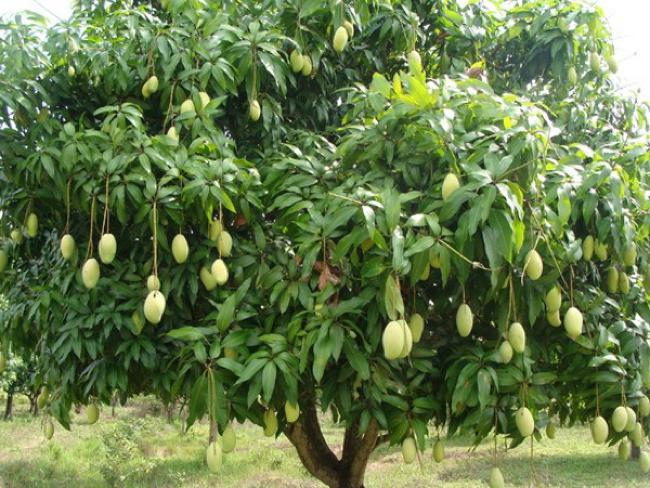 How To Grow Mango Tree In Pot | Growing Mango Trees In Containers